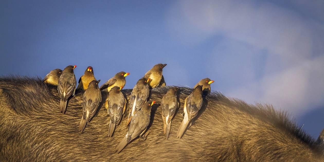 Piqueboeufs à bec jaune - Parc national Kruger - Afrique du Sud