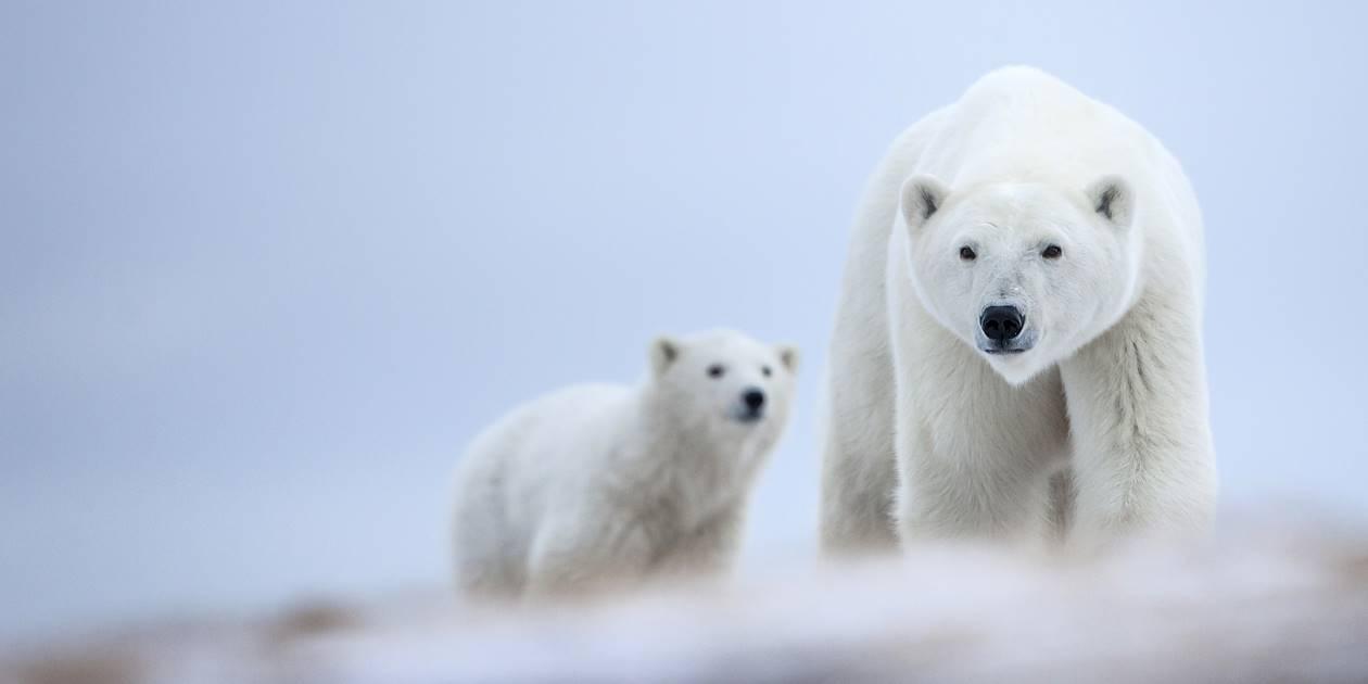 Ours blancs - Baie d'Hudson - Saskatchewan - Canada