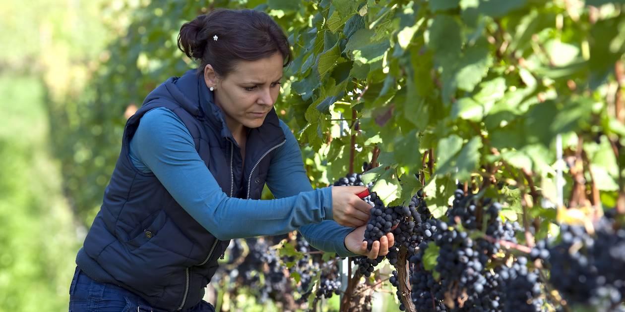 Récolte du raisin - Toscane - Italie