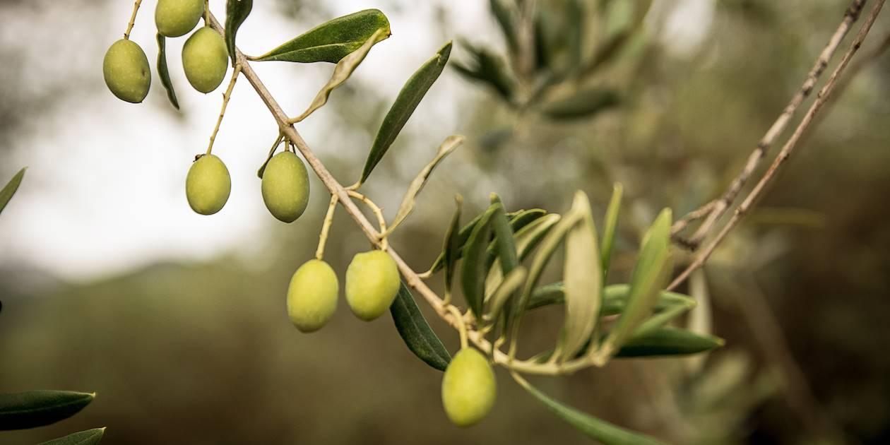 Branche d'olivierdans un verger - Sardaigne - Italie