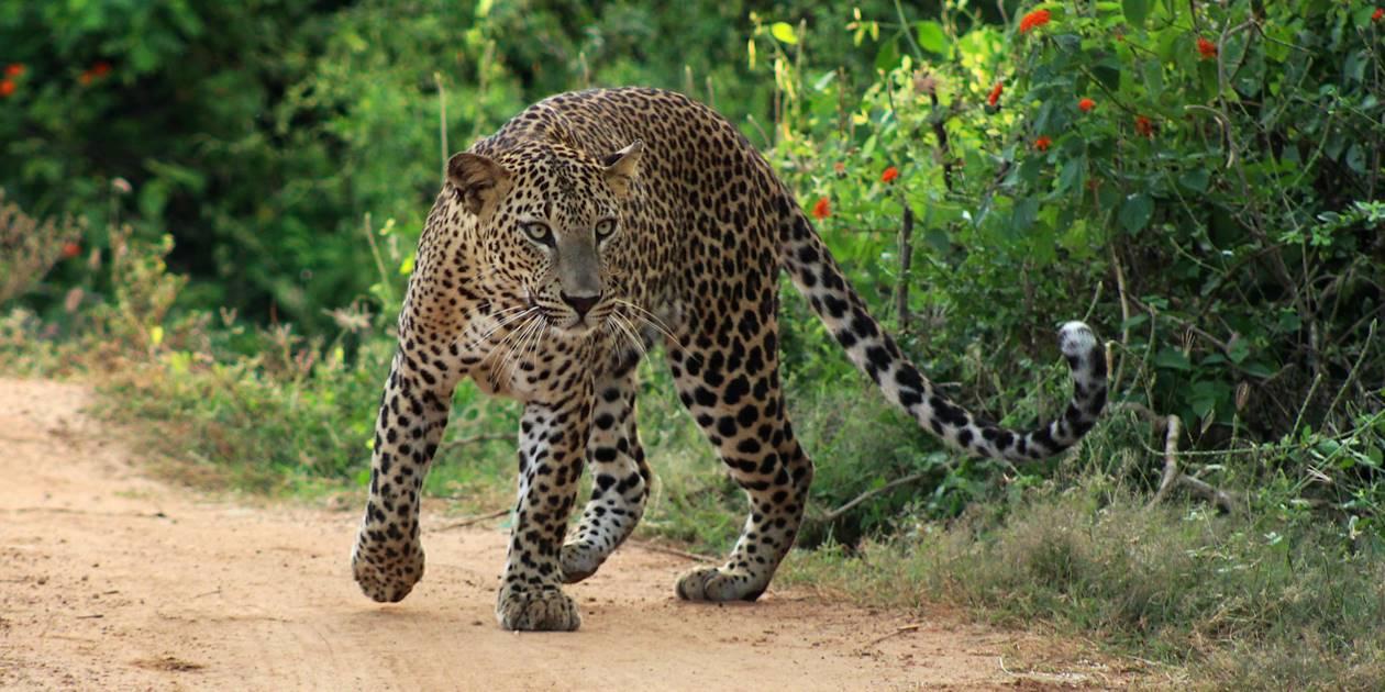 Léopard sauvage dans le Parc National de Yala - Sri Lanka