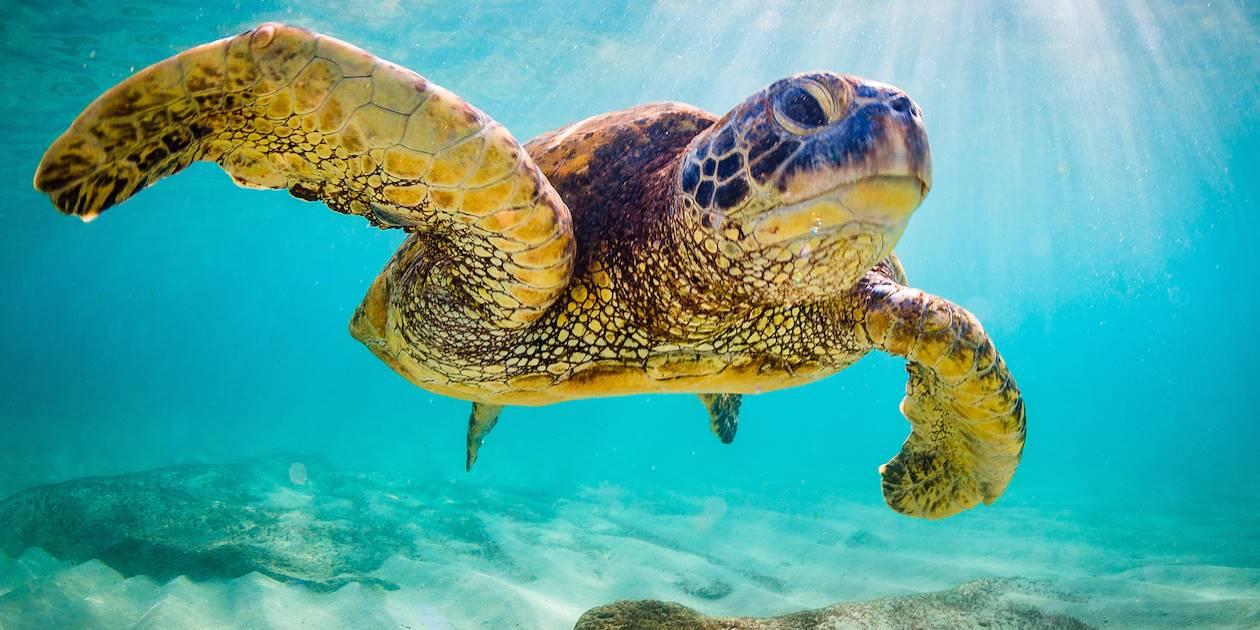 Tortue verte - Hawaii - Etats-Unis