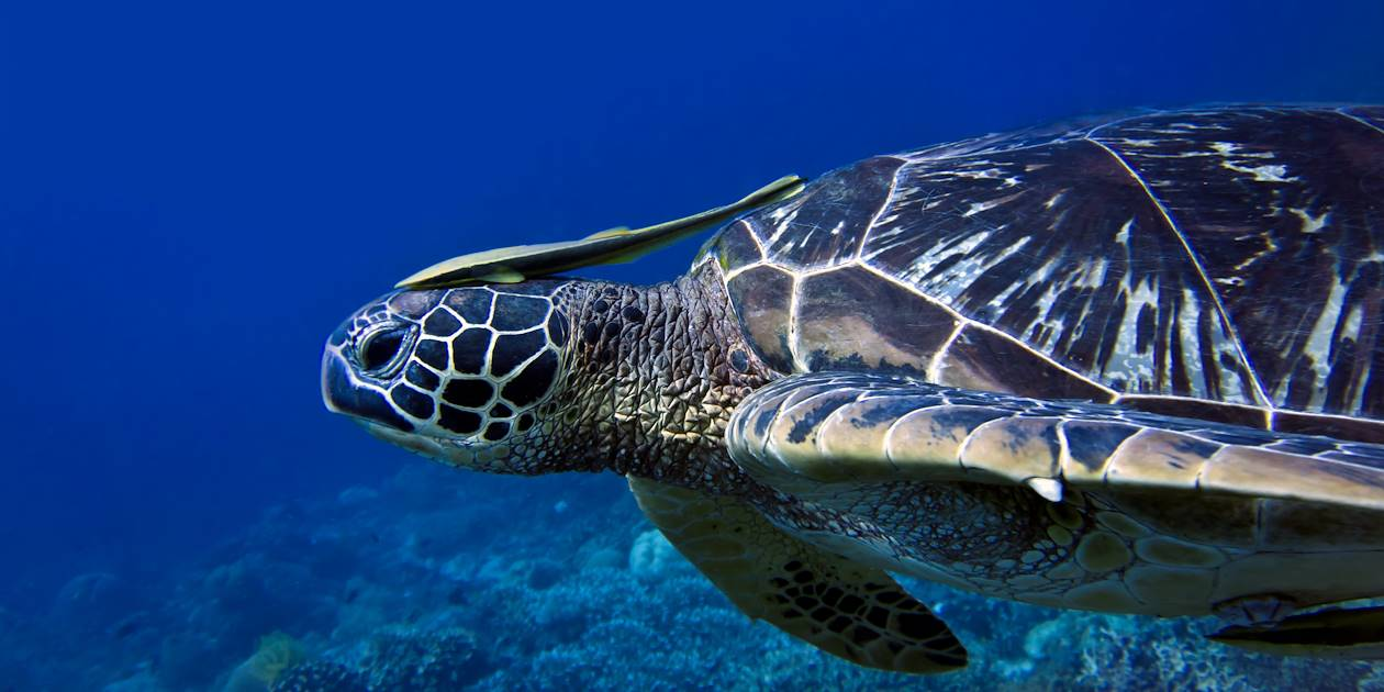 Tortue de mer - Indonésie
