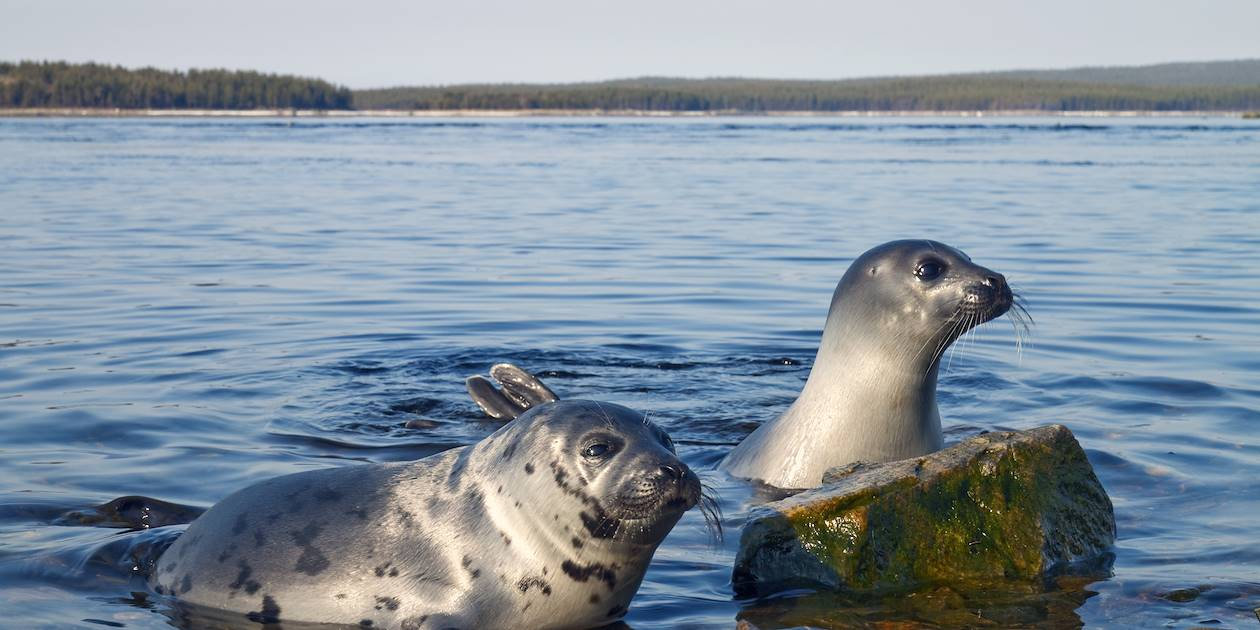 A la découverte du phoque annelé du Saimaa - Rantasalmi - Finlande