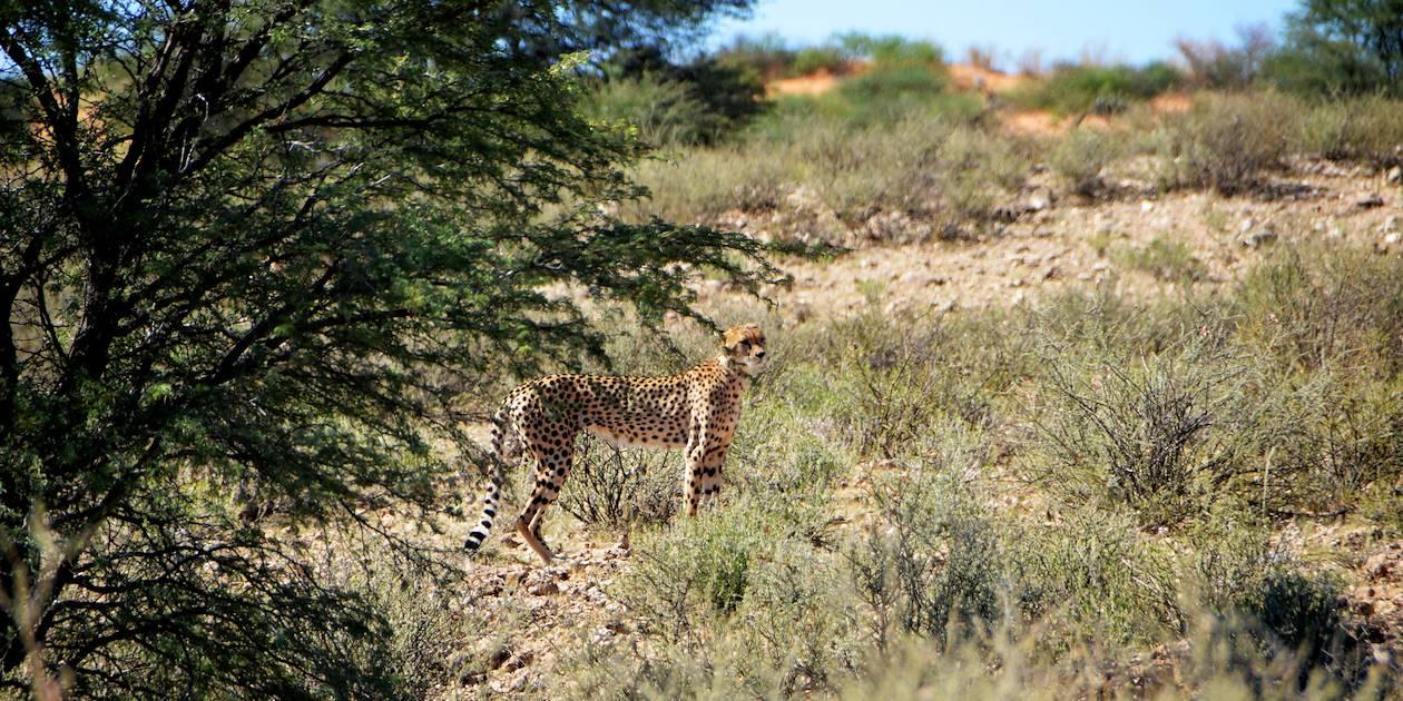 Guépard dans le désert du kalahari - Namibie