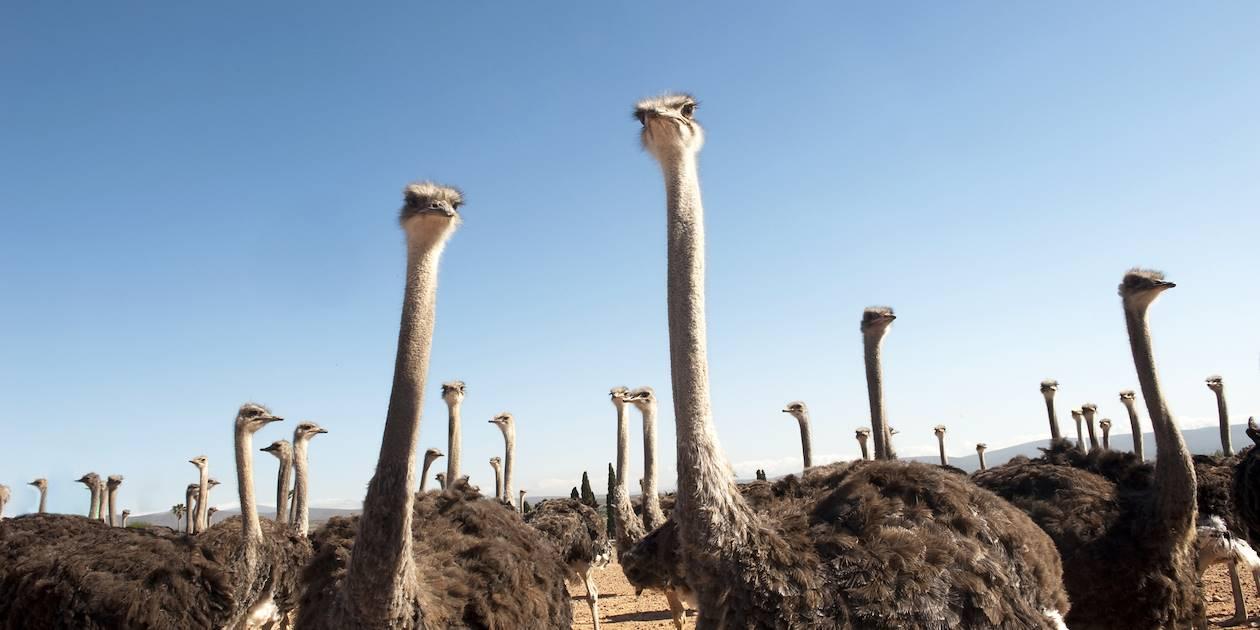 Ferme d'autruches - Oudtshoorn - Afrique du Sud