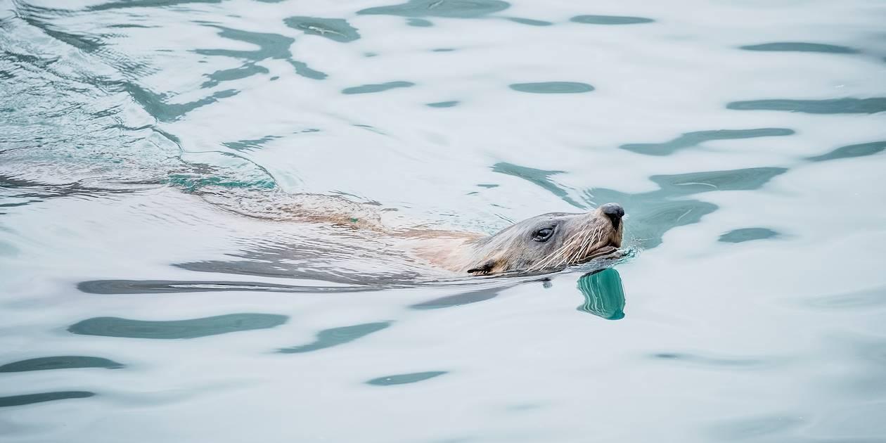 La Péninsule du Cap : otarie à fourrure vers l'Île Duiker - Le Cap - Afrique du Sud