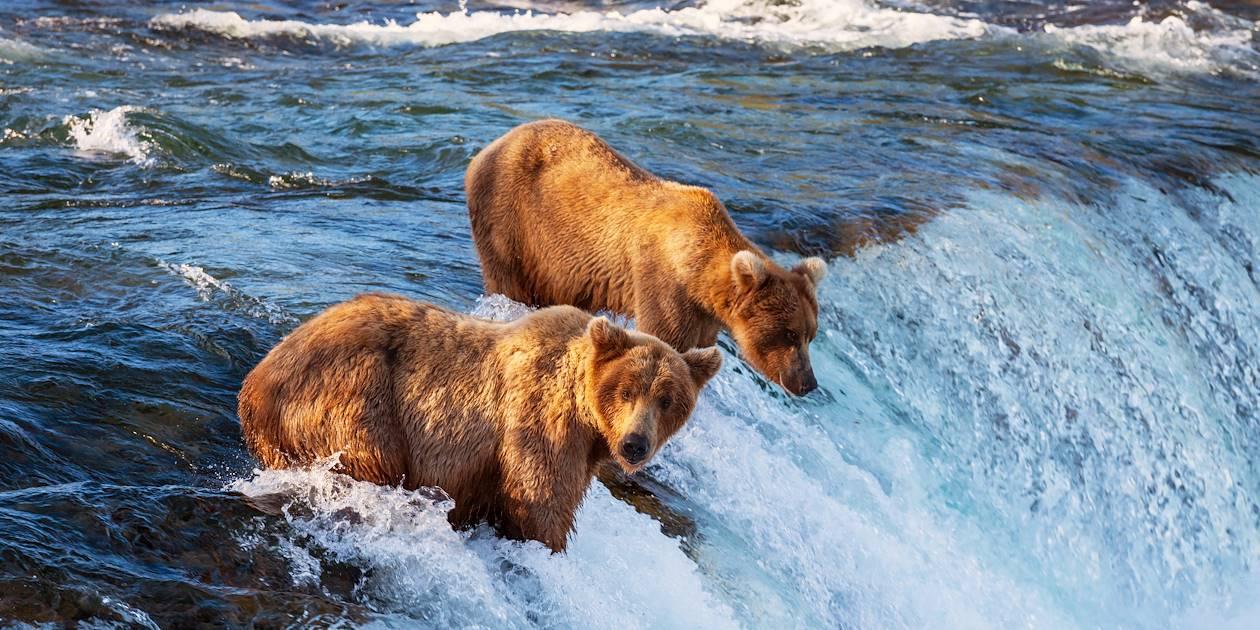 Grizzli - Alaska - Etats-Unis