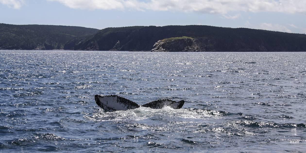 Observation des baleines - Canada