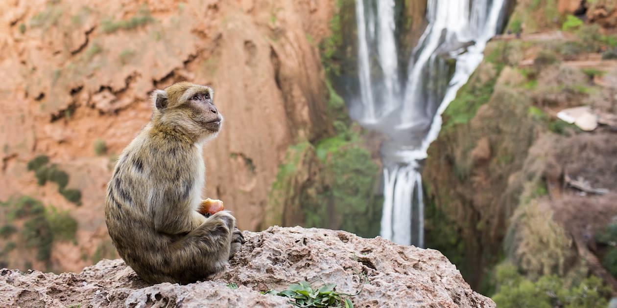 Singe devant la cascade d'Ouzoud - Moyen Atlas - Maroc