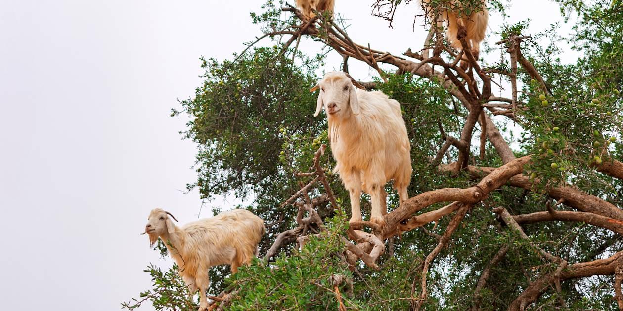 Chèvres dans un arganier sur la route vers Essaouira - Maroc