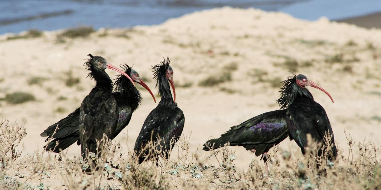 Ibis chauves dans le Parc National de Souss-Massa - Maroc
