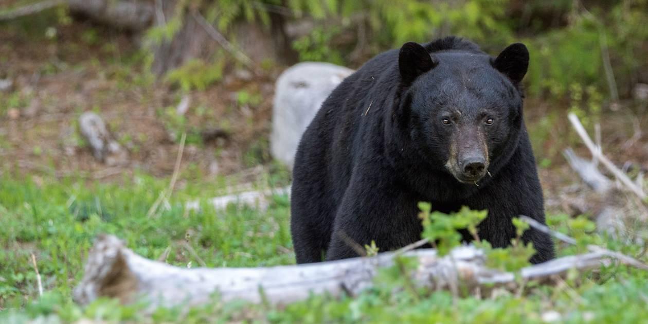 Ours noir - Parc provincial Wells Gray - Canada
