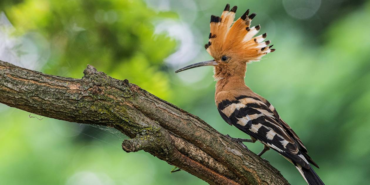 Huppe endémique du pays - Madagascar