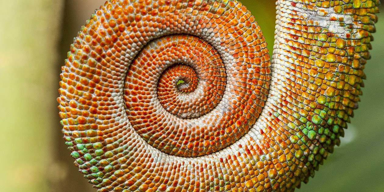 Détail de la queue d'un caméléon - Madagascar