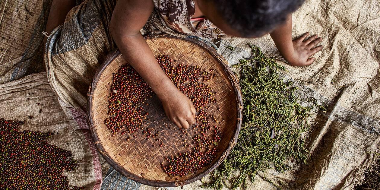 Récolte du poivre noir - Madagascar