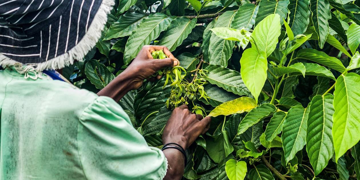 Récolte du Ylang-Ylang - Madagascar