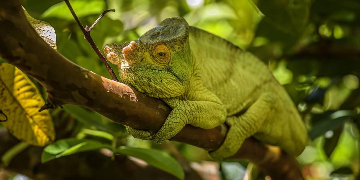 Caméléon de Parson - Madagascar