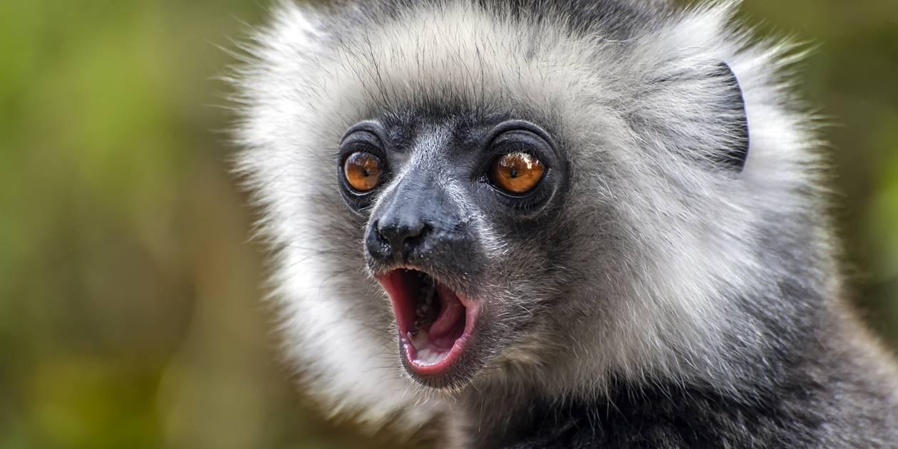 Lémurien Sifaka - Madagascar