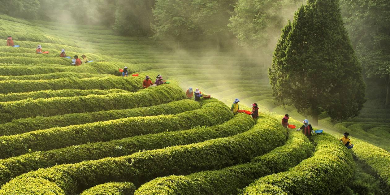 Plantations de thé en Jeolla du Sud - Corée du Sud