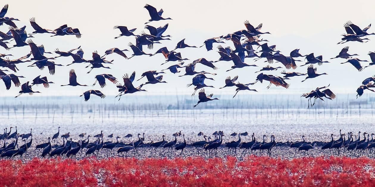 Baie de Suncheon : migration des oiseaux - Corée du Sud