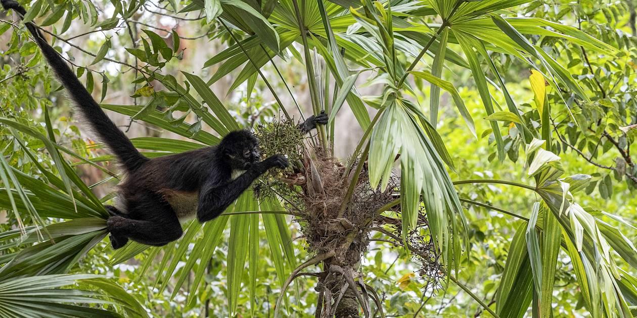 Singe-araignée d'Amérique Centrale - Guatemala