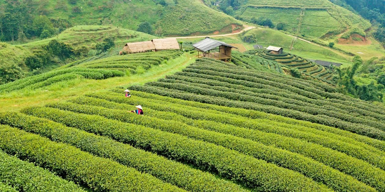 Plantation de thé sur le flanc d'une montagne - Thaïlande