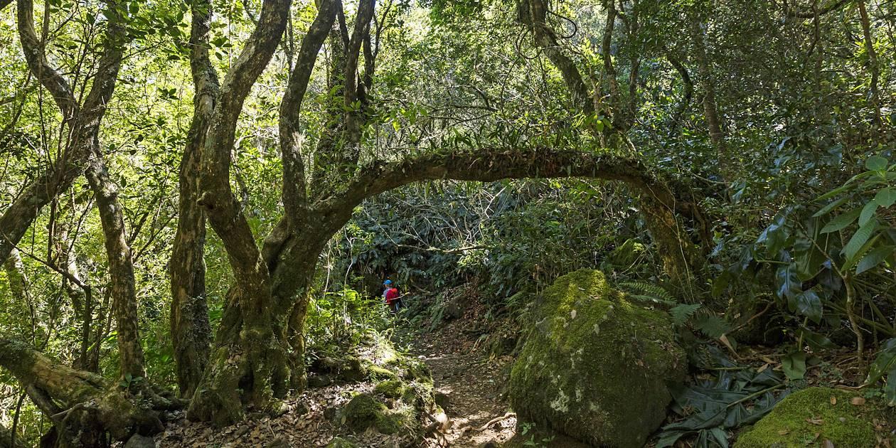 Randonnée dans la forêt de Belouve - Plaine des Palmistes - La Réunion