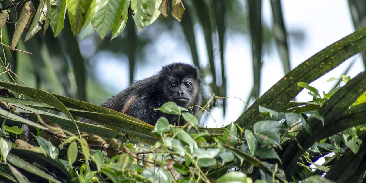 Petit primate dans la forêt de Tortuguero - Costa Rica