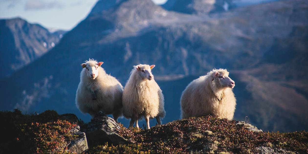 Moutons sur les Îles Lofoten - Norvège