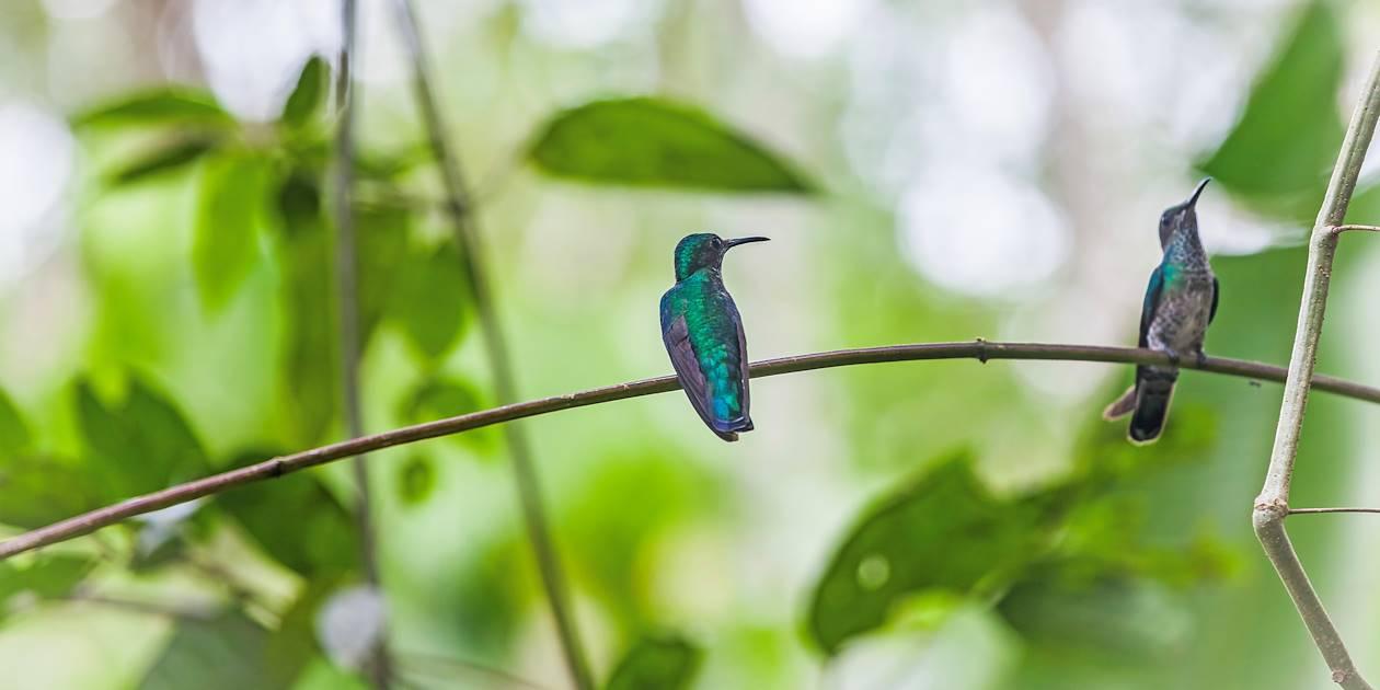 Colibris de la région - Boquete - Panama