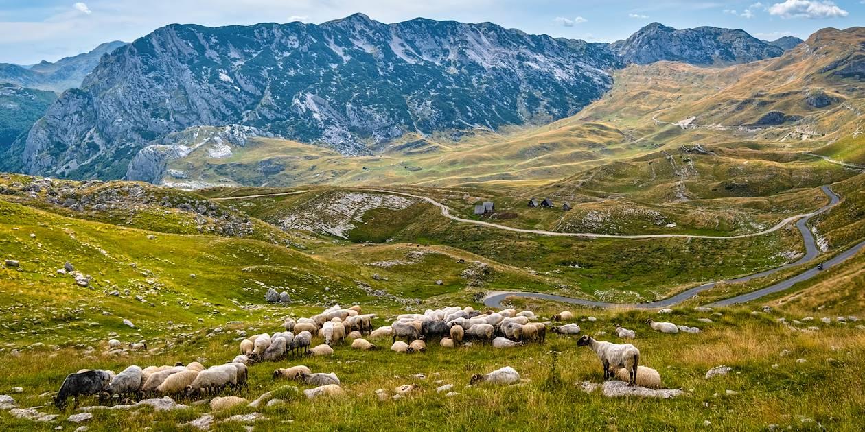 Troupeau de moutons dans le Parc National de Durmitor - Monténégro