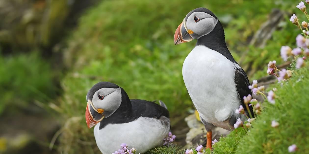 Couple de Macareux moine - Îles Shetland - Écosse - Royaume-Uni