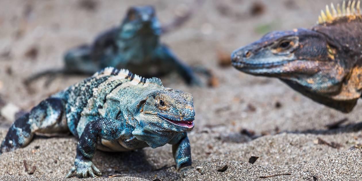 Iguanes bleus - Costa Rica