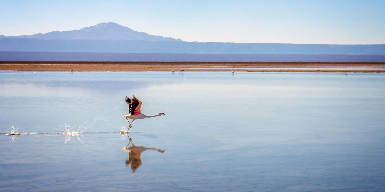 Flamant rose prenant son envol à la Laguna Chaxa - San Pedro de Atacama - Chili