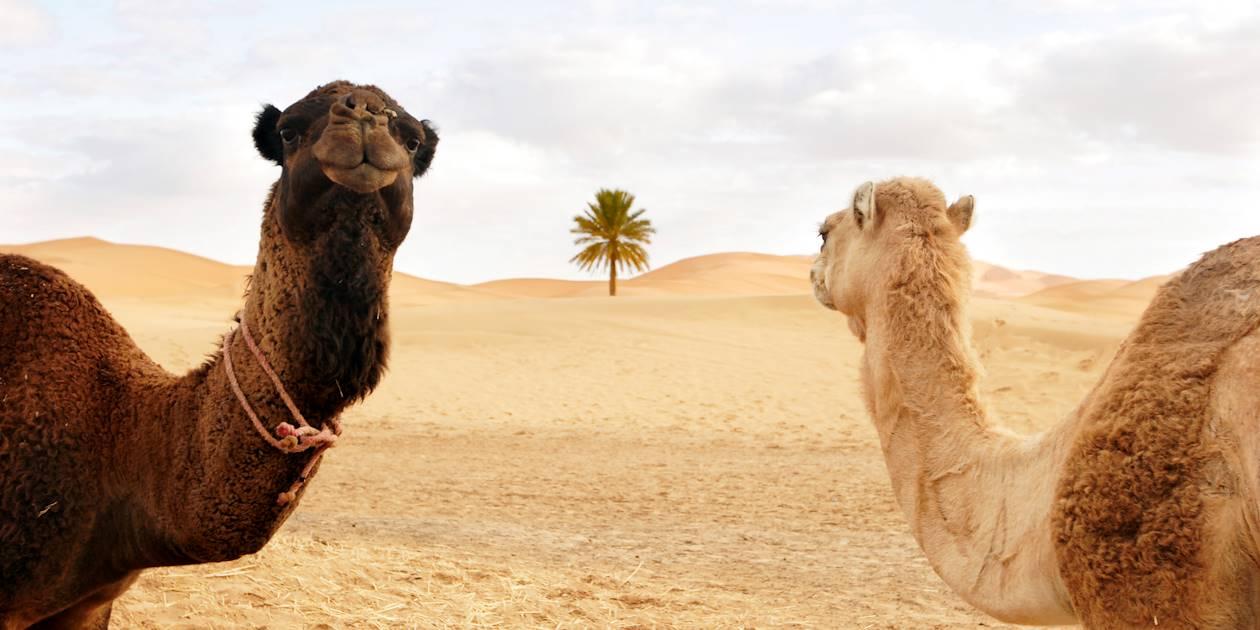 Chameaux dans le désert - Emirats Arabes Unis
