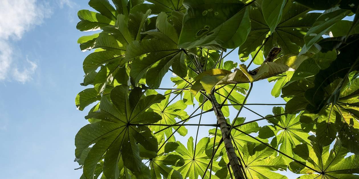 Feuilles verdoyantes d'un cacaoyer - Puerto Jimenez - Péninsule de Osa - Costa Rica