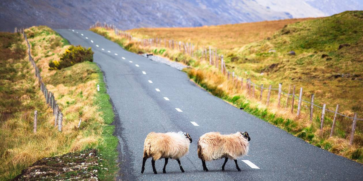 Moutons traversant la route - Irlande