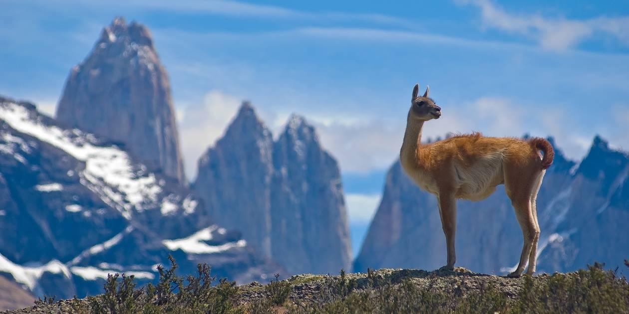 Un guanaco dans les montagnes - Chili
