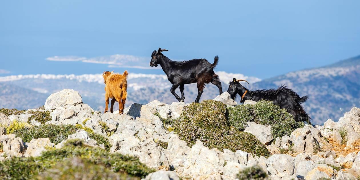 Chèvres dans les montagnes de Crète - Grèce