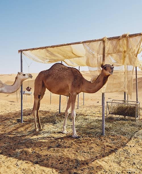 Chameaux près d'un campement - Wahiba Désert - Oman