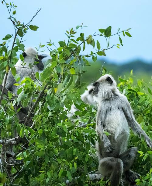 Singes - Parc National de Yala - Sri Lanka