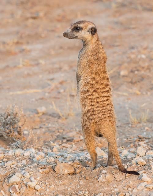Suricate dans le pan de Makgadikgadi - Gweta - Botswana
