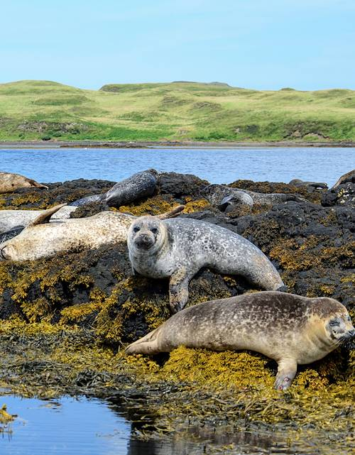 Phoque gris - Île de Skye - Archipel des Hébrides - Écosse - Royaume-Uni