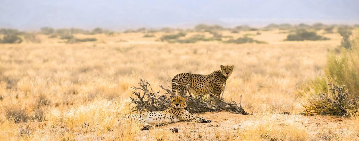 Guépards - Namibie