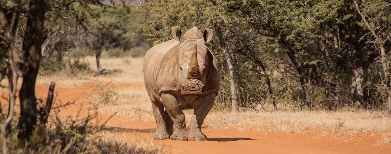 Rhinocéros  blanc - Namibie