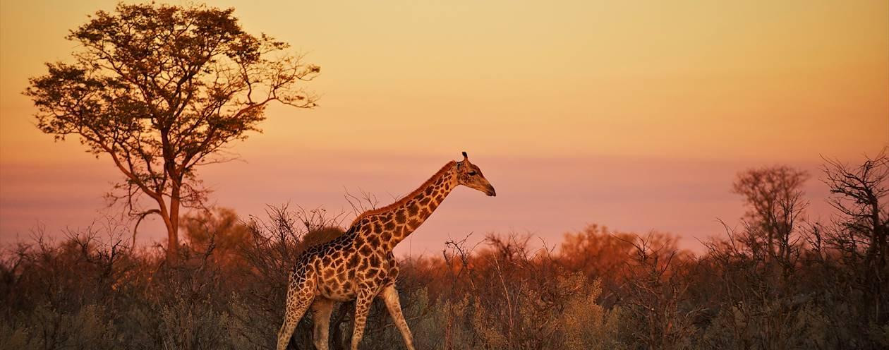 Marche dans la brousse au coucher du soleil - Botswana