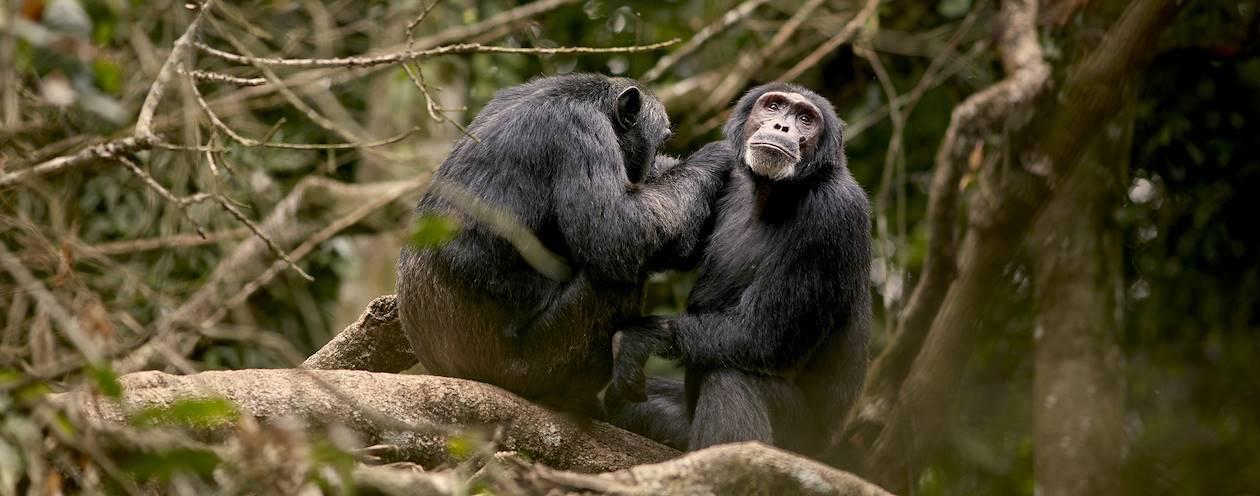 Approche et observation des chimpanzés - Parc National de Kibale - Ouganda