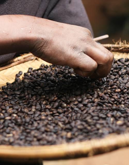 Découverte des plantations de café - Nkoaranga - Tanzanie