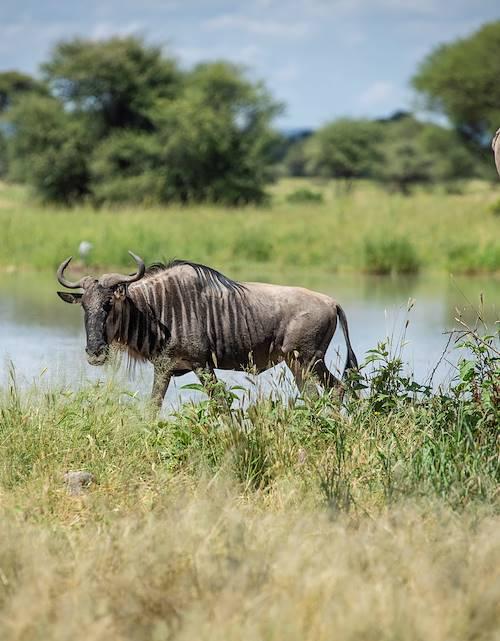 À la découverte du Parc National du Tarangire - Parc du Tarangire - Nord - Tanzanie